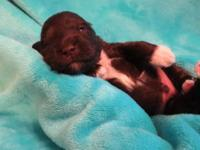 """Gary"" is a gorgeous AKC LIVER Chocolate Male Miniature"