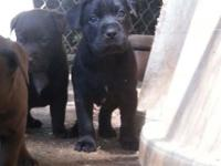 Rehoming fee $ 100. Black and Chocolate lab mix puppies