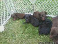 I have 3 female choclate labs and one black female and