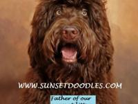 F1b Labradoodle puppies for sale. ** $1200-$1500 **