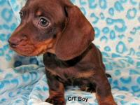 Beautiful Chocolate and Tan Mini Doxie puppy born July