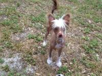 I have a male hairless Chinese Crested pup for sale. 5