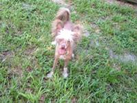 Crush is a Choc/Wht hairless male Chinese Crested pup.