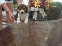 Full Blooded Chocolate Beagle Puppies are ready for