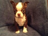 I have 6 chocolate boston terrier puppies that are