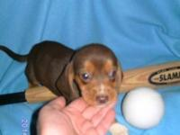 Registered Pure Beagle rich Chocolate Brown young puppy