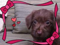 Adorable Female Dachshund mix (Doxiepoo) Puppy, born