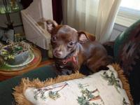 Young loving male chihuahua needs a loving home. He is