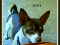 This is Thorne, a pure bred chihuahua. He was returned