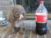 Chocolate Toy Poodle STUD for sale. He is CKC