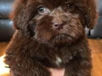 Beautiful Chocolate Male cockapoo puppy. He was born on