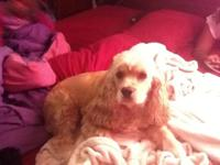 I have a male cocker spaniel who is brown, I am selling