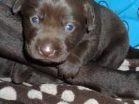 Accepting $200 deposit. Chocolate English AKC