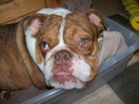 We are offering our english bulldog, Hershy. He is AKC