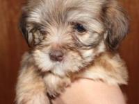 Chocolate full AKC Havanese puppy- Ready April 7th We