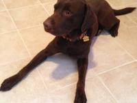 Looking for a forever home for our chocolate lab. He is