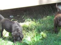 Beautiful chocolate lab females puppy who loves to run