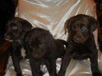 We have 6 puppies still available, 3 are (choc/white)