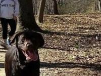 Very friendly and playful 10 month old Chocolate Lab