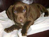 Three males puppies (Mom was a full breed Chocolate lab
