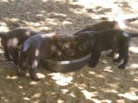 AKC registered Chocolate lab puppies. Males are $600,