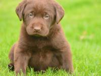 Here is a litter of beautiful chocolate Labrador pups -