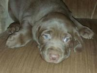 Beautiful Male puppy named HERSHEY due to unforseen
