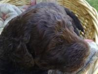 A beautiful male,chocolate labradoodle puppy! Our