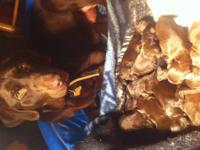 I have 9 solid chocolate labradoodle puppies. They will