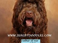 F1b Chocolate Labradoodle puppies coming early 2016.