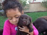 AKC registered chocolate Labrador puppies 5 females 3