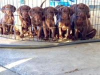 Labador puppies for sale! All had their first shots and