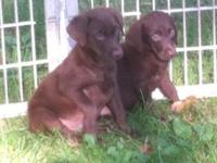 Hi I have 3 female akc registered Labrador Puppies cute