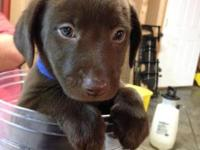I have 3 Chocolate Labrador Retriever Puppies for sale