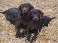 Chocolate Labrador Puppies born December 27th, 2016 -