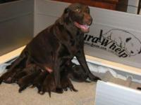 Description Once a chocolate labrador puppy enters your