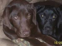 Adorable chocolate lab puppies in search of forever