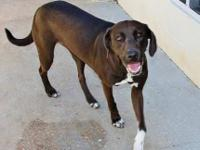 Chocolate Labrador Retriever - Babe - Large - Adult -