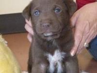 Chocolate Labrador Retriever - Bailey Puppy Four -