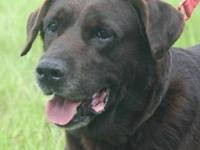 Chocolate Labrador Retriever - Bruno - Medium - Senior