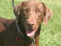 Chocolate Labrador Retriever - Casey - Large - Young -