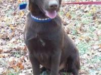 Chocolate Labrador Retriever - Chocolate - Large -