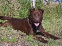 Chocolate Labrador Retriever - Dacey - Medium - Adult -