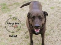 Chocolate Labrador Retriever - Kahlua #6961 - Large -
