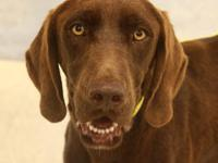 Chocolate Labrador Retriever - Keebler - Large - Young