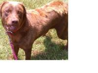 Chocolate Labrador Retriever - Lacy - Large - Adult -
