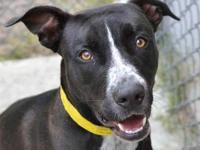 Chocolate Labrador Retriever - Lucy - Large - Adult -