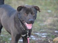 Chocolate Labrador Retriever - Mack - Large - Young -
