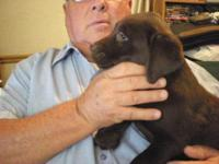 Wonderful AKC registered chocolate lab puppies. I have