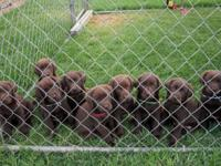 Maui Upcountry Labradors. Expecting a litter of pups